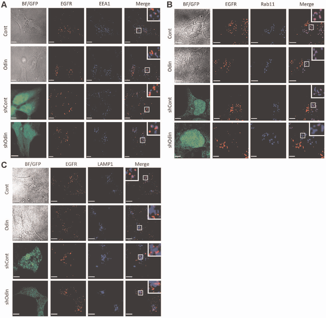Figure 3 from Odin (ANKS1A) Modulates EGF Receptor Recycling