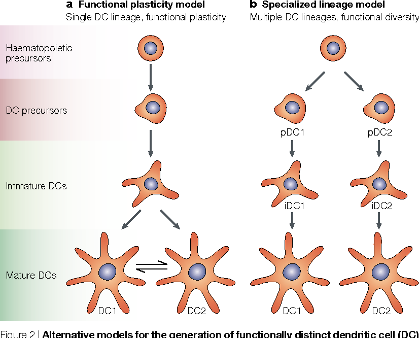Figure 2 from Mouse and human dendritic cell subtypes