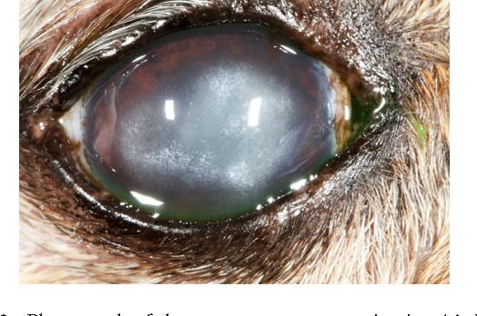 Figure 2 from Diamond burr debridement of 34 canine corneas