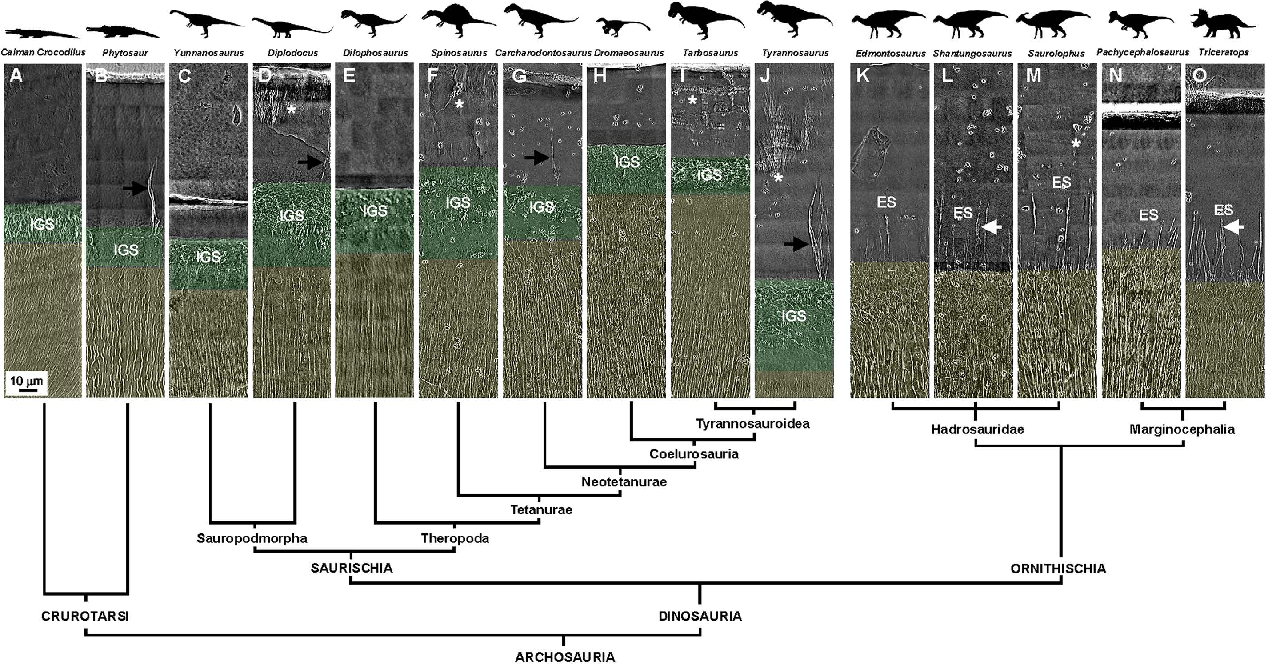 Figure 4 from Evolution and Function of Dinosaur Teeth at