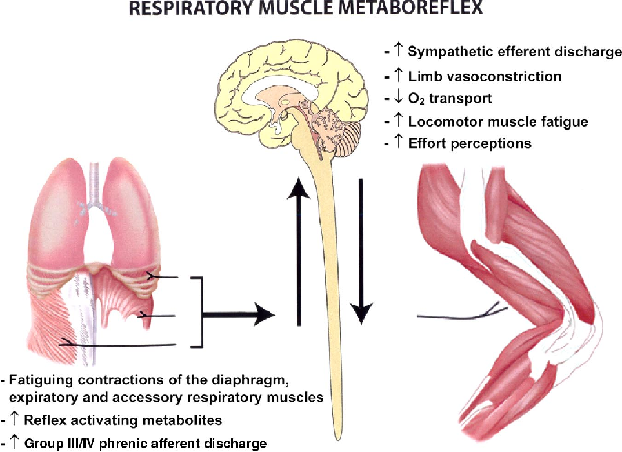 Figure 2 From Exercise Induced Respiratory Muscle Fatigue Implications For Performance Semantic Scholar