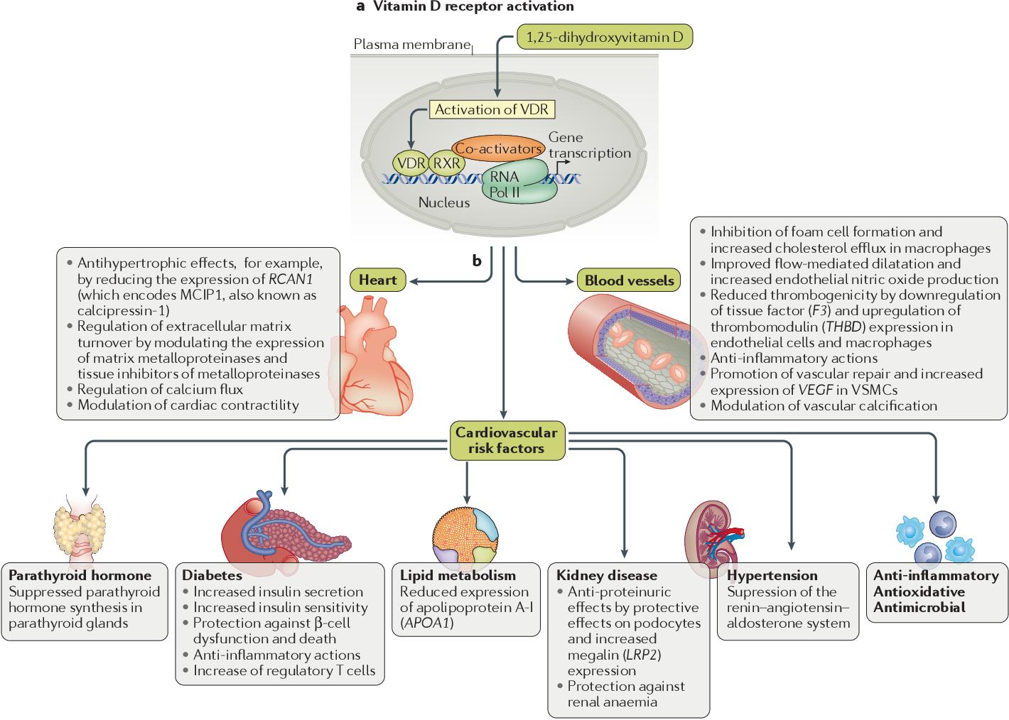 Vitamin D and cardiovascular disease prevention - Semantic
