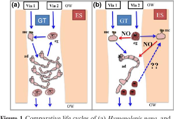 Figure 1 from Hymenolepis nana vs  Taenia solium life cycle