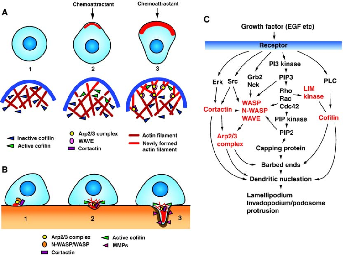 Regulation of the actin cytoskeleton in cancer cell