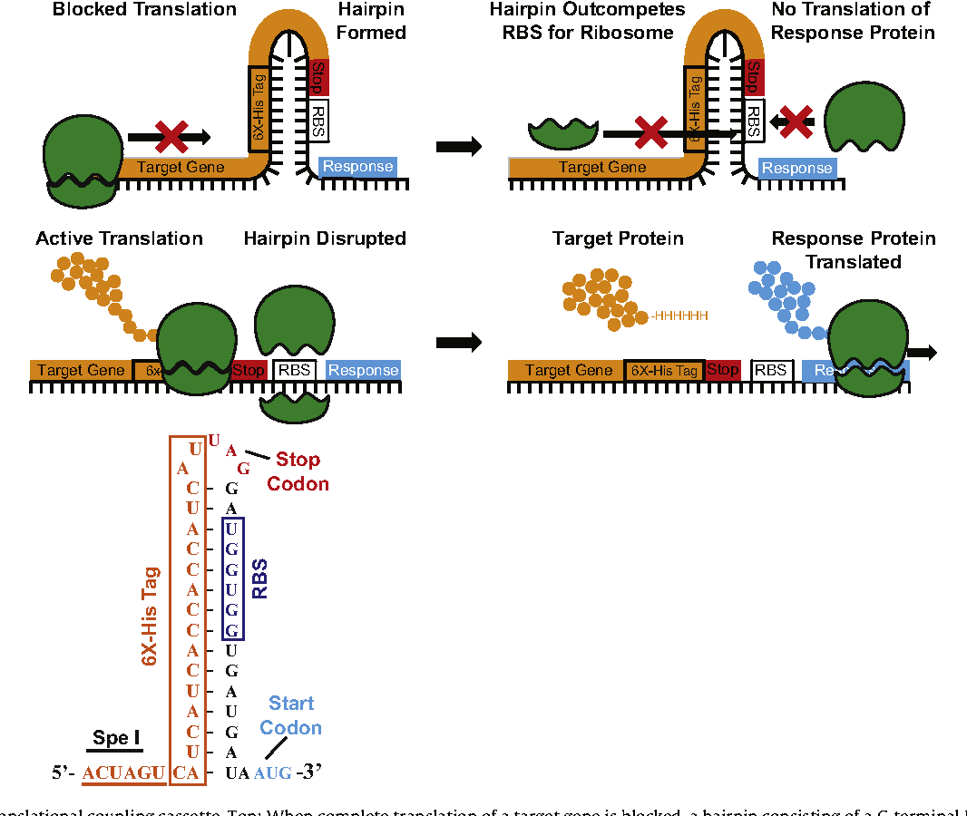A translation-coupling DNA cassette for monitoring protein