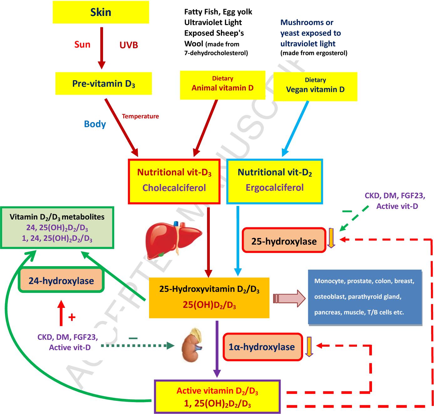 Vitamin D And Immune Function In Chronic Kidney Disease Semantic Scholar
