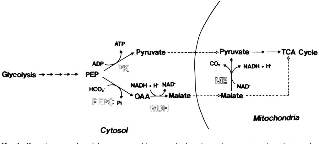 Fig. 1. Reactions catalyzed by pyruvate kinase and phosphoenolpyruvate carboxylase and possible pathways for conversion of phosphoenolpyruvate to pyruvate in Catharanthus roseus cells. MDH, NAD-malate dehydrogenase; ME, NAD-malic enzyme; PEPC, phosphoenolpyruvate carboxylase; PK, pyruvate kinase; PEP, phosphoenolpyru vate; OAA, oxaloacetate.