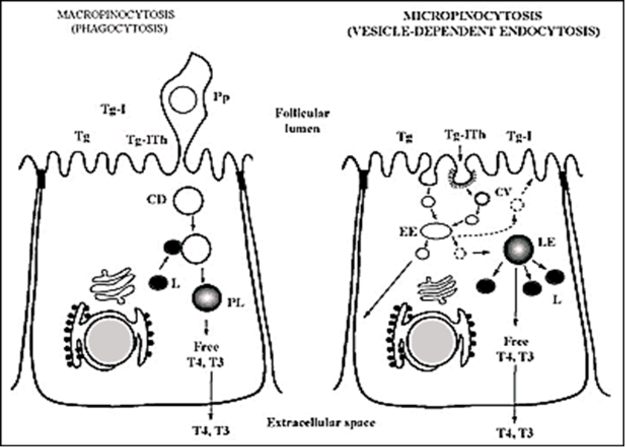 Figure 2 14 From Chapter 2 Thyroid Hormone Synthesis And Secretion