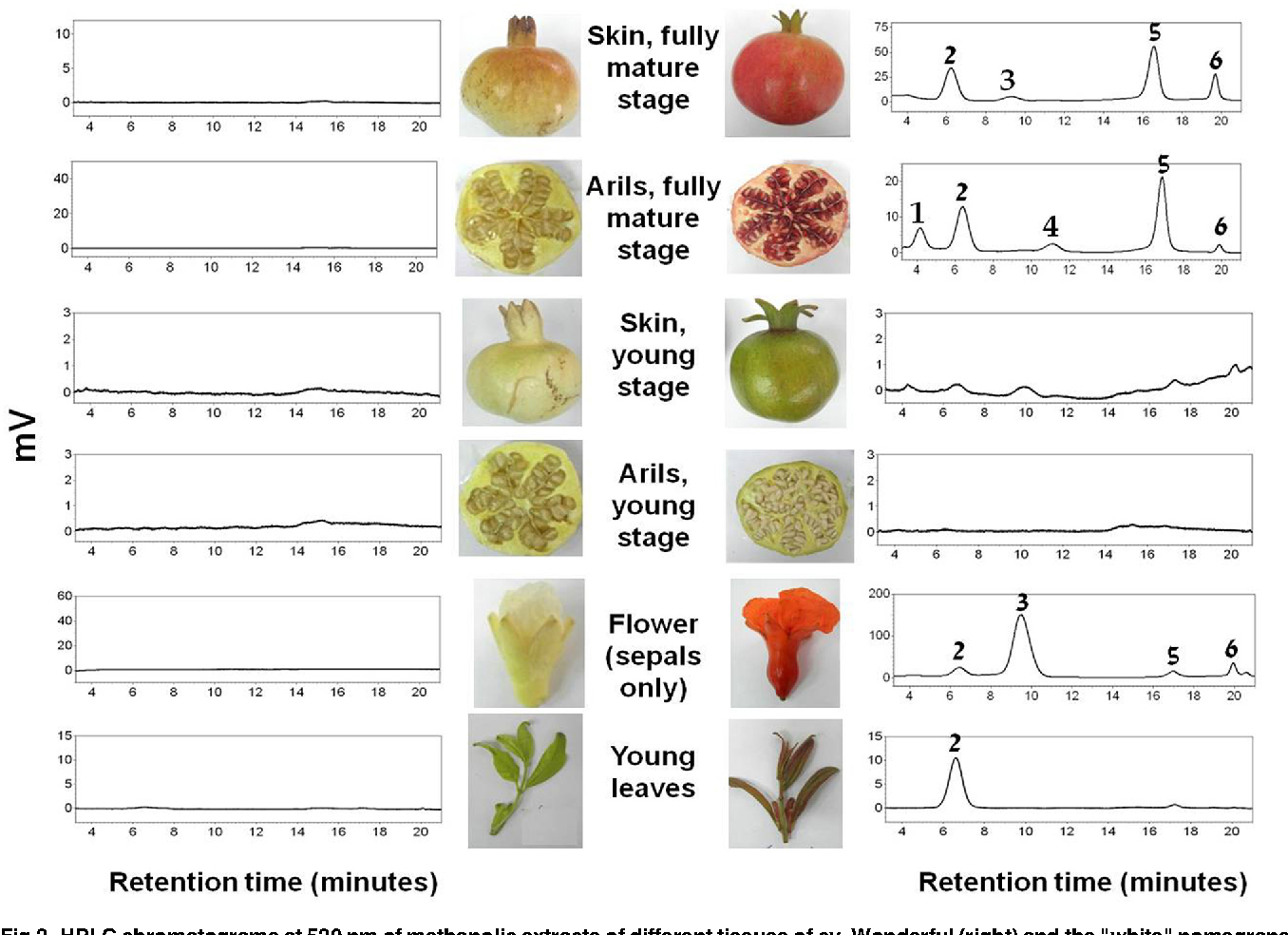 Figure 2 From A White Anthocyanin Less Pomegranate Punica