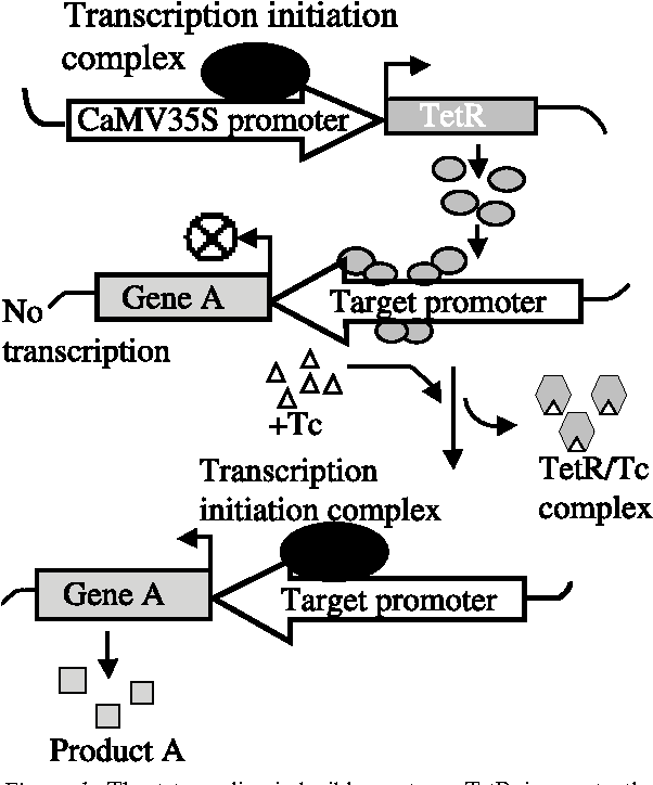 A dexamethasone-inducible gene expression system is active in Citrus plants