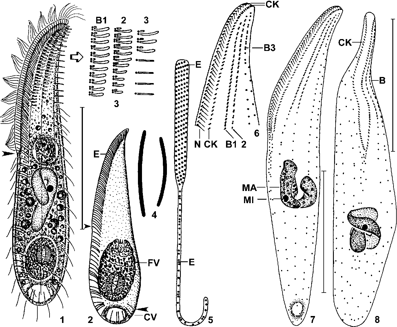 PDF] An expanded phylogeny of the Entodiniomorphida (Ciliophora ...