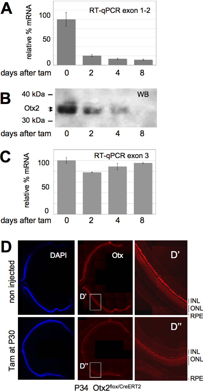 Figure 1. Efficient loss of Otx2 gene products after selfknockout in adult retina. A–C. Time course analysis of Otx2 gene products following tamoxifen injection at P30 in Otx2flox/CreERT2 mice. Relative levels of full-length (A) and total (normal + deleted) (C) Otx2 mRNA measured by RT-qPCR are shown. Corresponding levels of Otx2 protein (B) is shown in western blots. Position of size markers and Otx2 protein are indicated. Error bars in A and C are standard deviation. D. Staining of nuclei (DAPI) and Otx proteins on identical retina sections from control and mutant mice of the same genotype 4 days after tamoxifen injection. Shown are stitching of overlapping fields reconstituting a whole section. Right panel: magnification of boxed D9 and D0 areas. RPE: retinal pigment epithelium; ONL: outer nuclear layer; INL: inner nuclear layer. doi:10.1371/journal.pone.0011673.g001