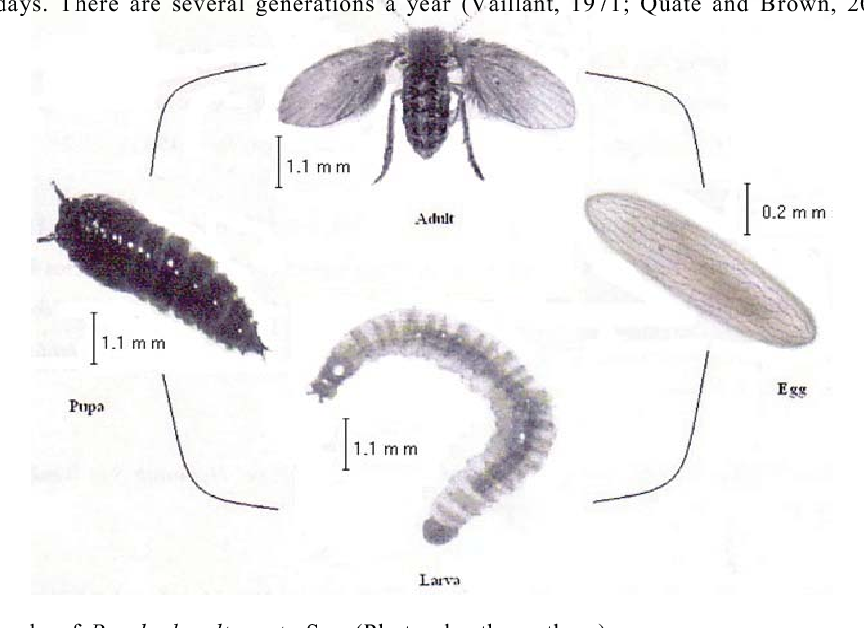 Figure 1 from Predatory Activity of Psychoda alternata Say ( Diptera :  Psychodidae ) Larvae on Biomphalaria glabrata and Lymnaea natalensis Snails  and the Free-Living Larval Stages of Schistosoma mansoni | Semantic Scholar