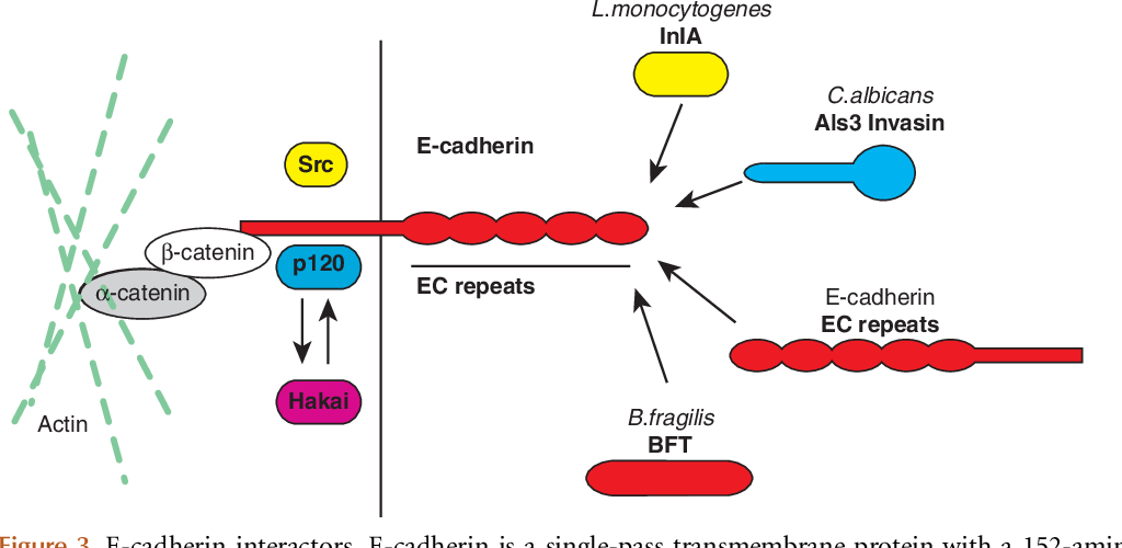 Pdf Listeria Monocytogenes Internalin And E Cadherin From Bench To Bedside Semantic Scholar