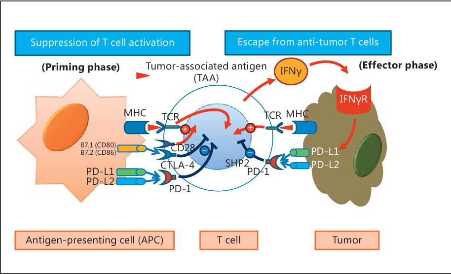Figure 3 from Immune Checkpoint Inhibition in Hepatocellular