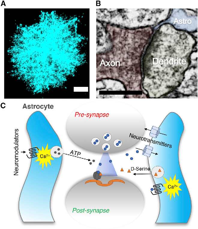 Cell Biology of Astrocyte-Synapse Interactions - Semantic
