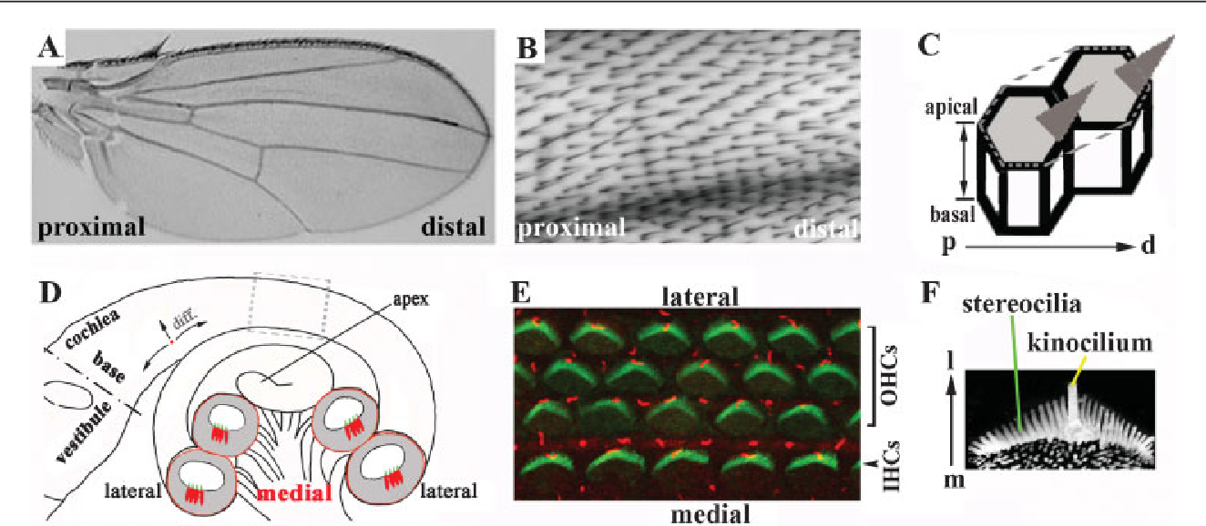 Figure 1 from Planar cell polarity signaling in vertebrates