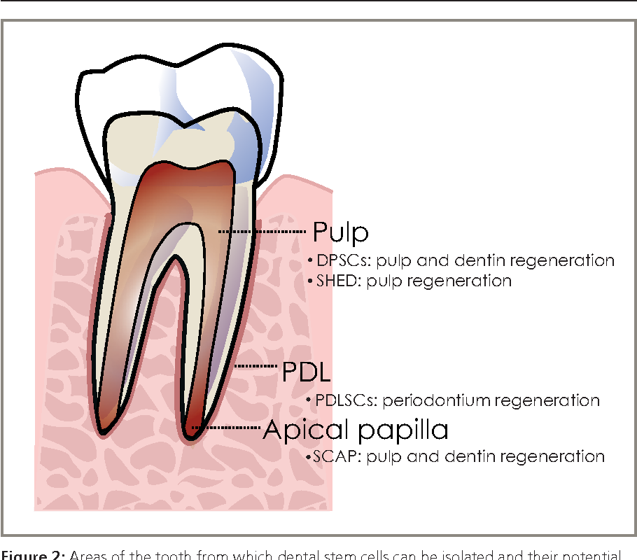 Figure 2 from Regeneration of tissues of the oral complex