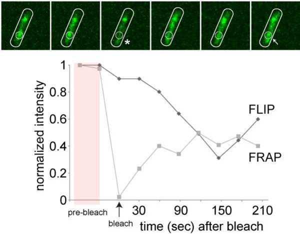PDF] Using Fluorescence Recovery After Photobleaching (FRAP) to ...