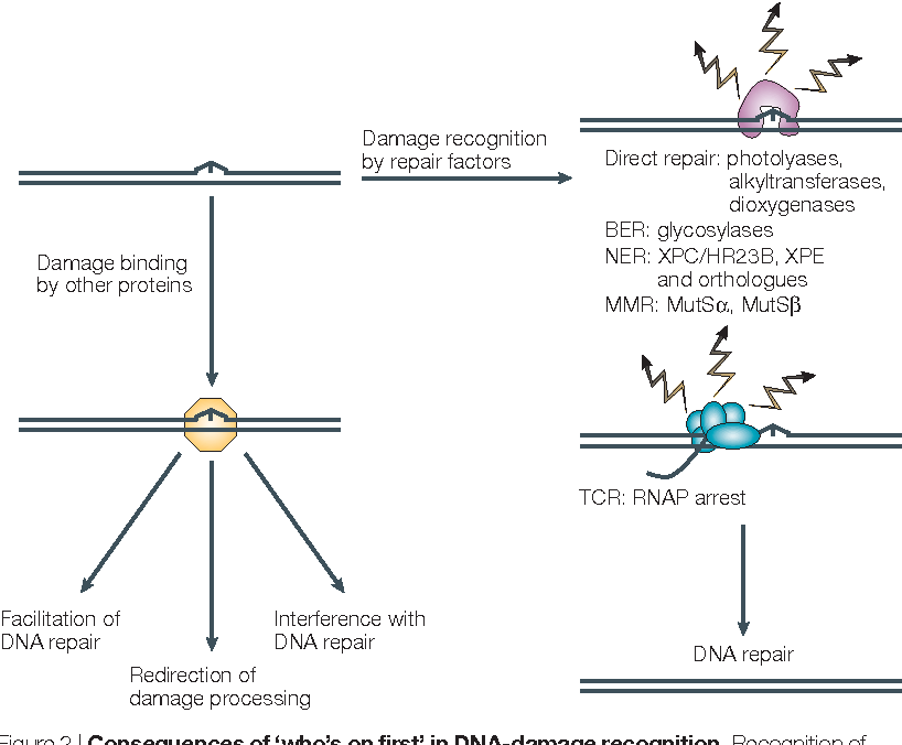 Figure 2 from Who's on first in the cellular response to DNA
