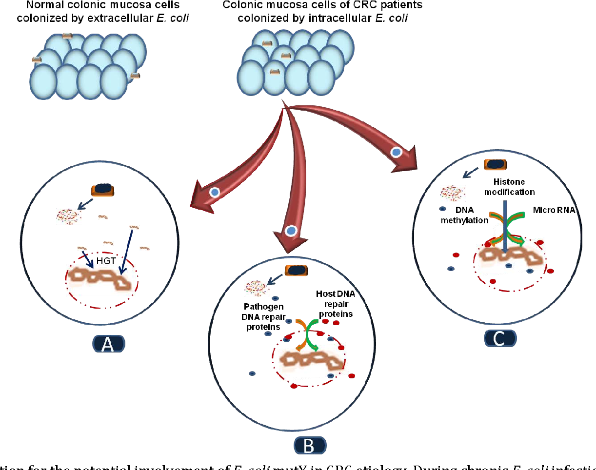 Figure 1 From E Coli And Colon Cancer Is Muty A Culprit Semantic Scholar