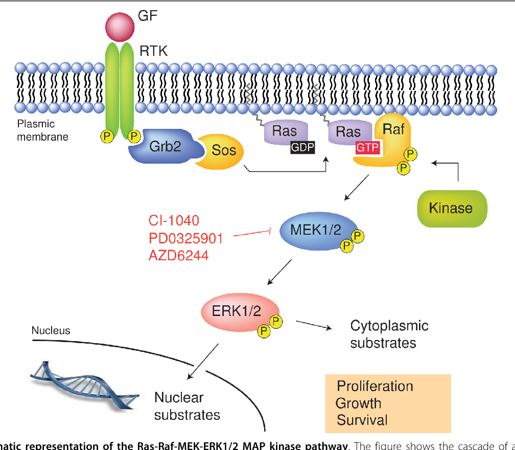 Figure 1 from From basic research to clinical development of ... on insulin pathway, cyclin-dependent kinase, il-6 signaling pathway, thyroid pathway, jak-stat signaling pathway, cell signaling, adenylate cyclase pathway, pi3k/akt/mtor pathway, phosphatidylinositol 3-kinase pathway, receptor tyrosine kinase, wnt signaling pathway, jak 1 2 3 signaling pathway, pi 3-kinase pathway, protein kinase c, mitogen-activated protein kinase, signal transduction, tyrosine kinase, tgf beta signaling pathway,