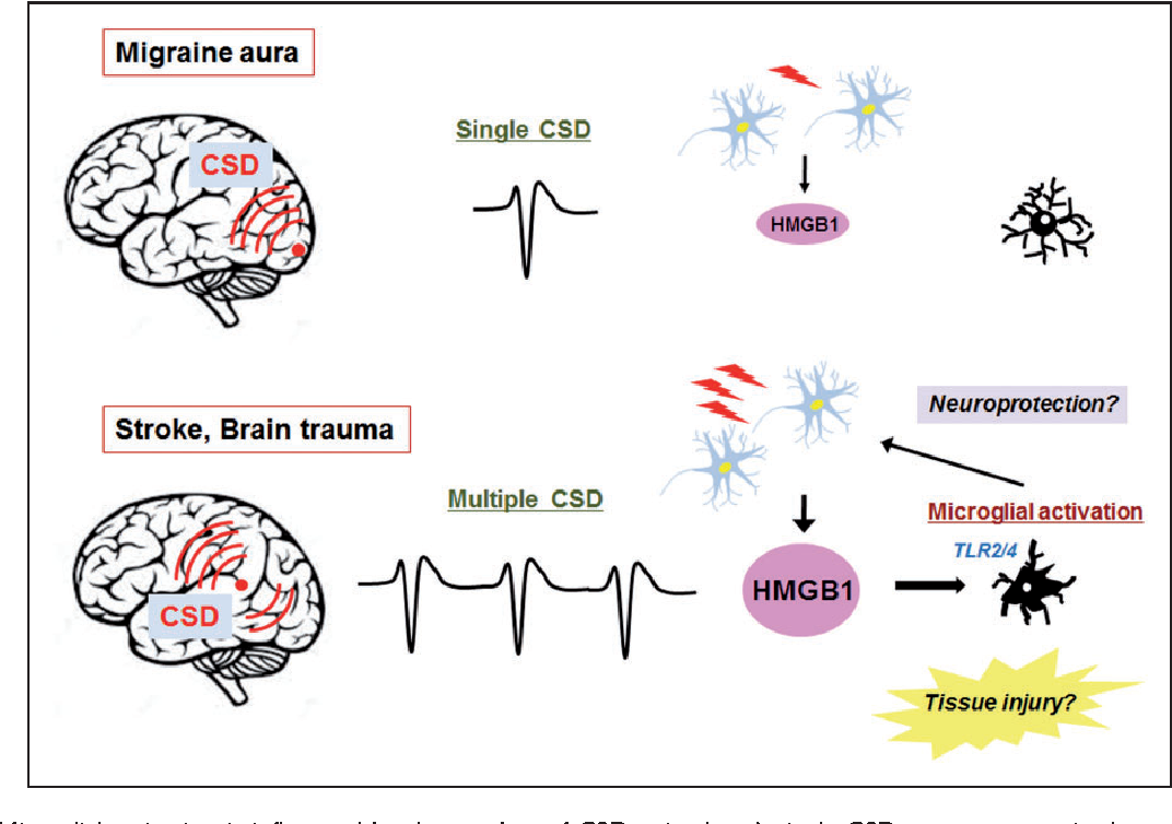 Figure 5 from Exploring the role of microglia in cortical ...