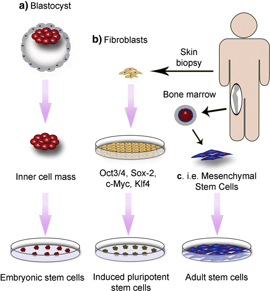 Figure 1 from Stem cell-biomaterial interactions for