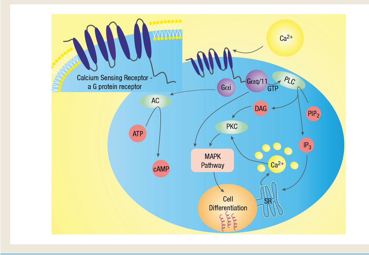 Review Article Loss Of The Calcium Sensing Receptor In Colonic Epithelium Is A Key Event In The Pathogenesis Of Colon Cancer Semantic Scholar