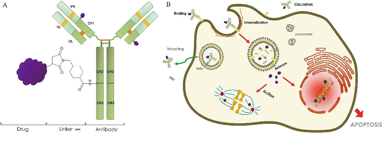 Unlocking the potential of antibody-drug conjugates for