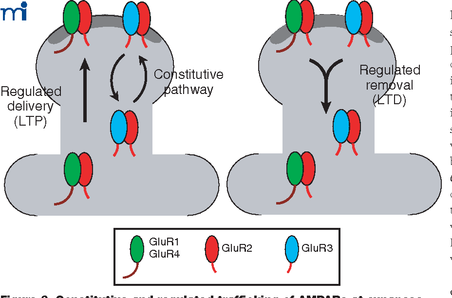 Figure 3 from AMPA receptor trafficking: a road map for