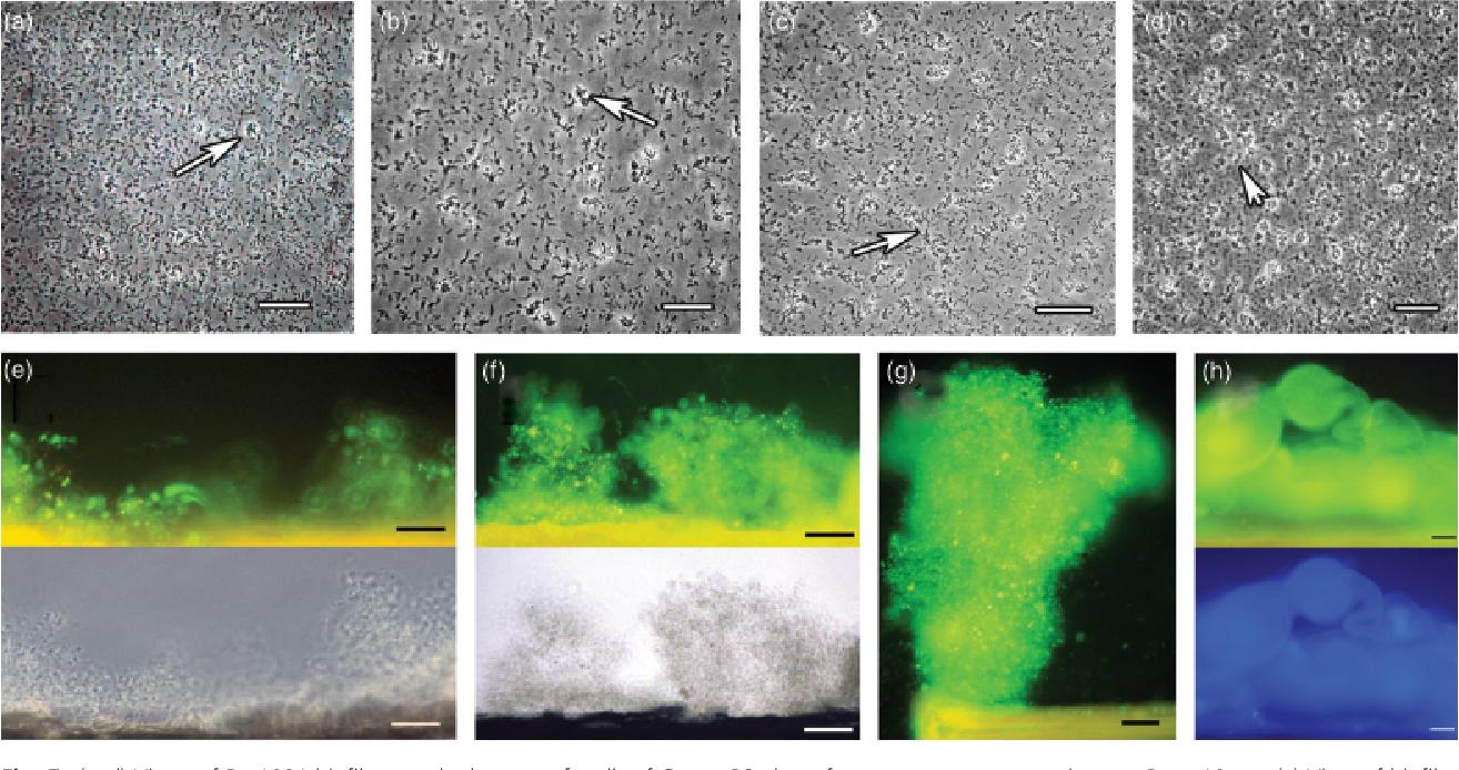 Figure 5 from Investigations of Rhizobium biofilm formation