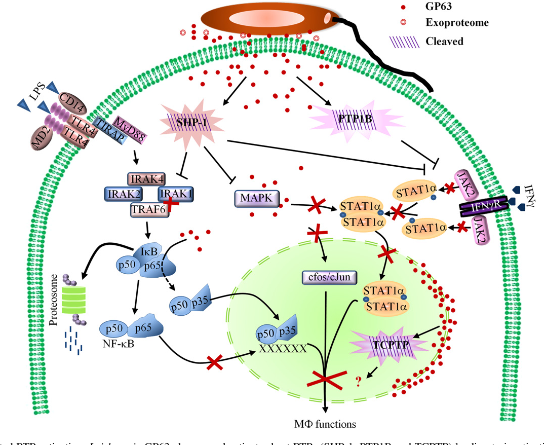 Figure 3 from Leishmania virulence factors: focus on the
