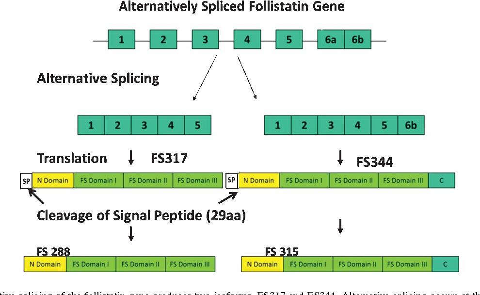 Figure 2 from Follistatin Gene Therapy Improves Ambulation