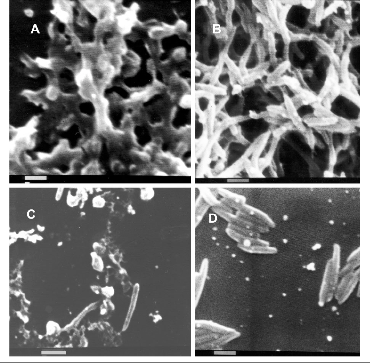 Figure 5 from Biofilm formation in Campylobacter jejuni