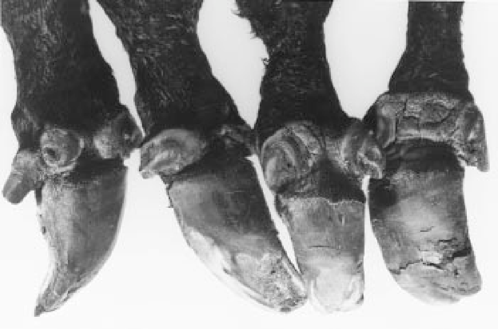 Table 5 From Hereditary Syndactyly In Angus Cattle