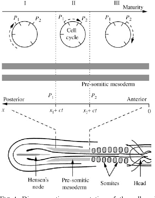 Figure 1 from A cell cycle model for somitogenesis