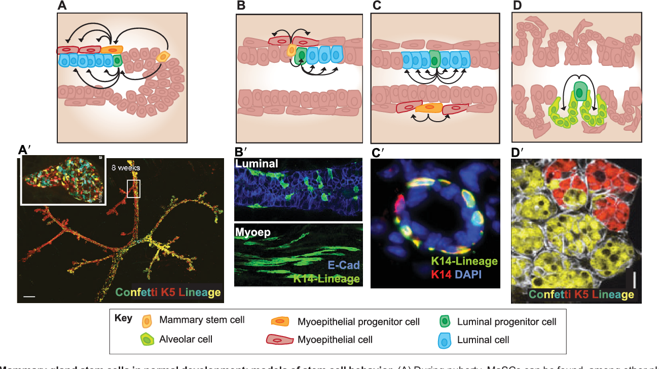 Figure 4 from Mammary gland development: cell fate