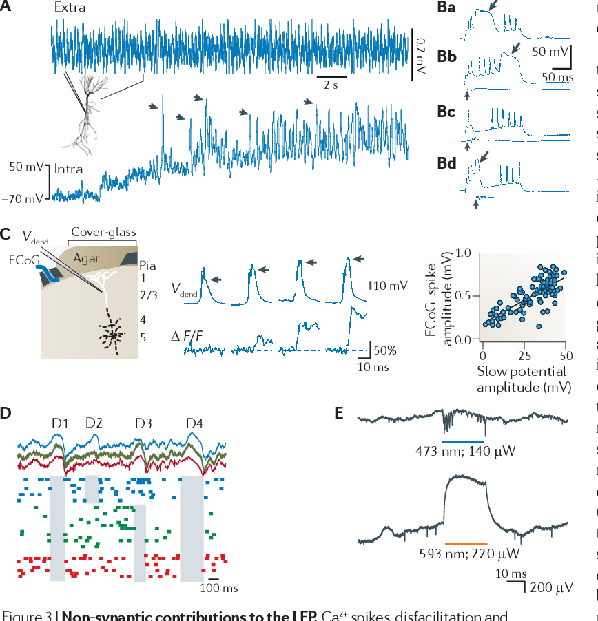 Figure 3 | Non-synaptic contributions to the LFP. Ca2+ spikes, disfacilitation and disinhibition contribute to the local field potential (LFP). A | Voltage-dependence of a theta-frequency oscillation in a hippocampal pyramidal cell dendrite in vivo. A continuous recording of extracellular (extra) and intradendritic (intra) activity in a hippocampal CA1 pyramidal cell is shown. The holding potential was manually shifted to progressively more depolarized levels by intradendritic current injection. The recording electrode contained QX-314 to block Na+ spikes. Note the large increase in the amplitude of the intradendritic theta oscillation upon depolarization. Arrows, putative high-threshold Ca2+ spikes phase-locked to the LFP theta oscillation. Ba | Dendritic Ca2+ spikes (shown by an arrow) have a large amplitude and are long-lasting in vivo. Bb–Bd | The response of a CA1 pyramidal cell to ventral hippocampal commissural stimulation (vertical arrows) paired with dendritic depolarization. Such inhibition can delay (Bb), prevent (Bc) or abort (Bd) the dendritic Ca2+ spike. LFPs recorded from a nearby electrode in the pyramidal layer show the timing and magnitude of the stimulation (lower traces in Bb–Bd). Note that the number of Na2+ spikes remains approximately the same, irrespective of the presence or absence of the Ca2+ spike. C | Whisker stimulation-evoked dendritic Ca2+ spikes correlate with surface cortical LFP changes. The setup for recording the electrocorticogram (ECoG), intradendritic potential (V dend ) and Ca2+ fluorescence is shown in the left panel. The relationship between the intradendritic potential amplitude (horizontal arrows) and simultaneously measured Ca2+ influx (∆F/F) is shown in the middle panel. The ECoG response as a function of the Ca2+ spike ('slow potential') amplitude is shown in the right panel. D | 'Down' states in cortical pyramidal cells during sleep produce extracellular LFP 'delta' waves. Shown are simultaneously recorded LFP (top) and unit activity (bottom) at three layer 5 intracortical locations (spaced approximately 1 mm apart; indicated by different colours). Note that down states (shaded areas), reflected as positive waves (delta waves) in the LFP, can be either strongly localized (in D2 and D3) or more widespread (in D1 and D4). E | Generation of extracellular potentials by depolarization or hyperpolarization of a limited number of CA1 neurons that express both channelrhodopsin 2 (ChR2) and halorhodopsin, in response to blue (top) and yellow (bottom) light in vivo. Note the depolarization-induced negative LFP (top) and the hyperpolarization-induced positive LFP (bottom) in the pyramidal layer. Part A is reproduced, with permission, from REF. 159 © (1998) Wiley. Part B is reproduced, with permission, from REF. 160 © (1996) National Academy of Sciences. Part C is reproduced from REF. 161 © (1999) Macmillan Publishers Ltd. All rights reserved. Part D is reproduced, with permission, from REF. 56 © (2005) Cambridge Journals. Part E courtesy of E. Stark, New York University, Langone Medical Center, USA.