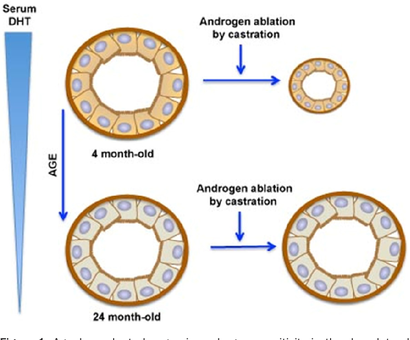 Figure 2 from Androgen action in prostate function and