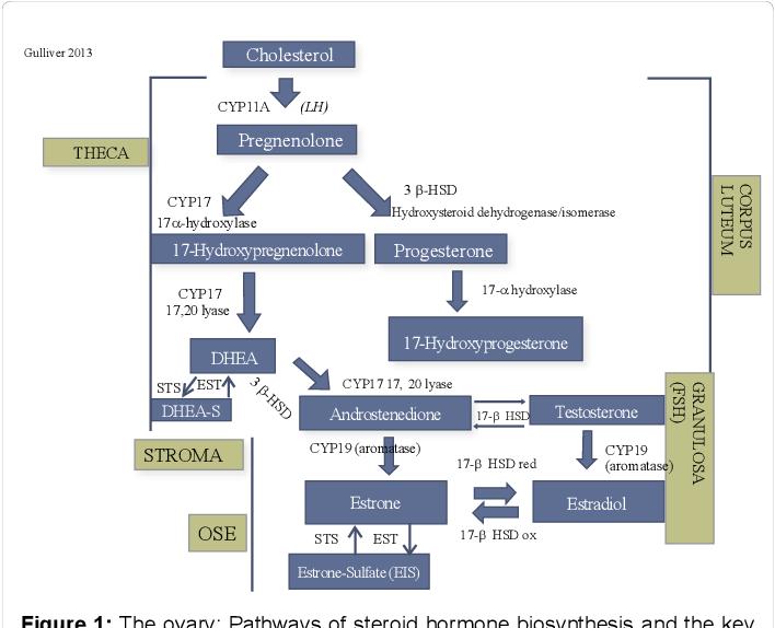 Figure 1 From Estradiol Synthesis And Metabolism And Risk Of Ovarian Cancer In Older Women Taking Prescribed Or Plant Derived Estrogen Supplementation Semantic Scholar