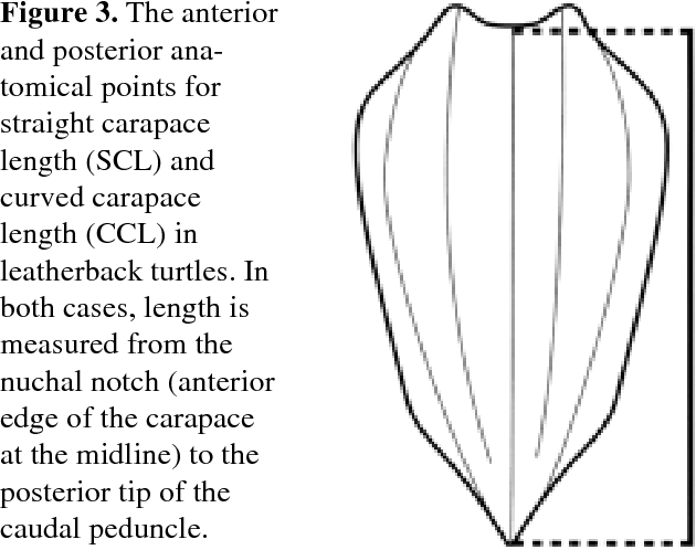 Figure 3. The anterior and posterior anatomical points for straight carapace length (SCL) and curved carapace length (CCL) in leatherback turtles. In both cases, length is measured from the nuchal notch (anterior edge of the carapace at the midline) to the posterior tip of the caudal peduncle.