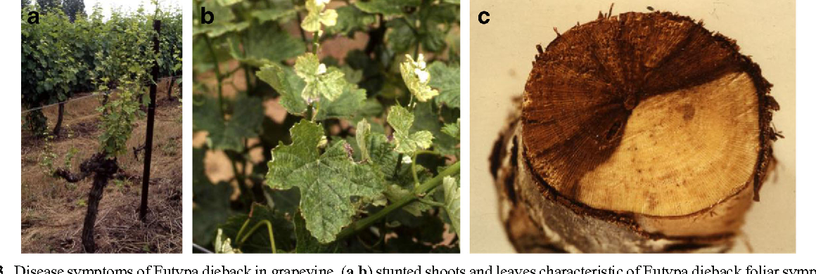 Figure 3 from The effects of grapevine trunk diseases (GTDs