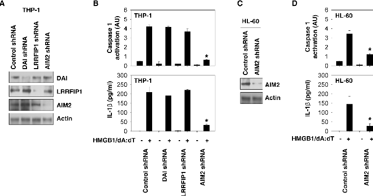 Figure 2. AIM2 is required for HMGB1-DNA complex-mediated inflammasome activation