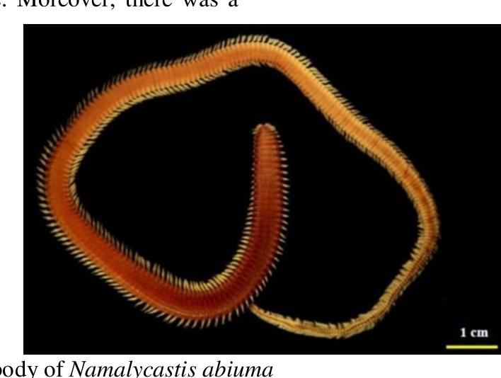 Pdf Cacing Nipah Pendek Namalycastis Abiuma Polychaeta Neredidae Dari Perairan Mangrove Sungai Kapuas Kalimantan Barat Semantic Scholar