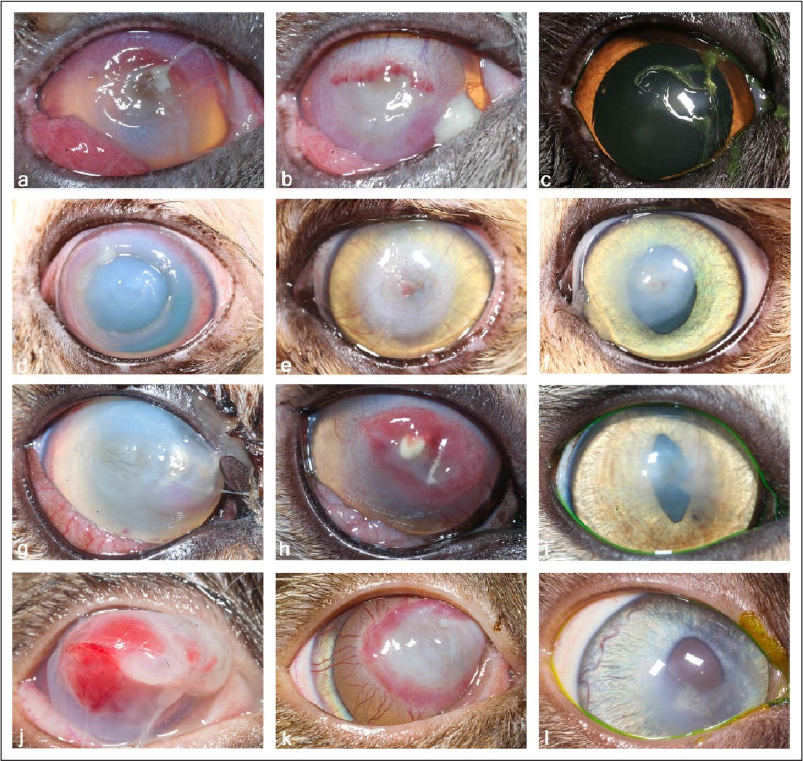 Medical Management Of Deep Ulcerative Keratitis In Cats 13