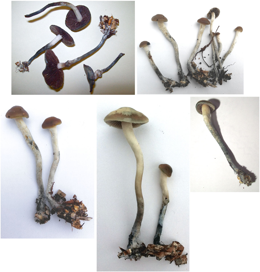Figure 4 from Discovery of a new caerulescent Psilocybe