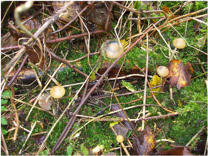 Figure 5 from Discovery of a new caerulescent Psilocybe