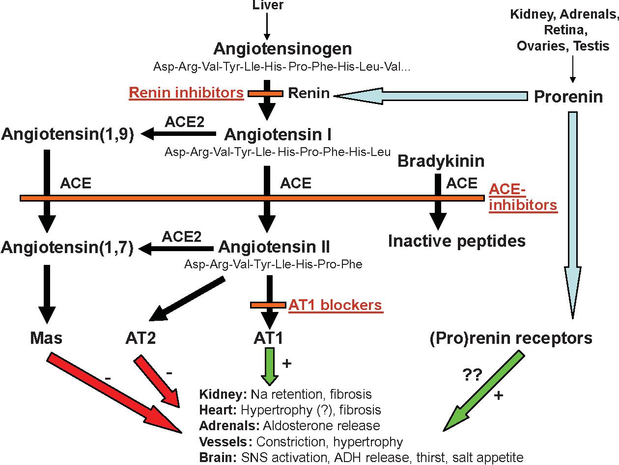 Renin Angiotensin System and Cardiovascular Disease