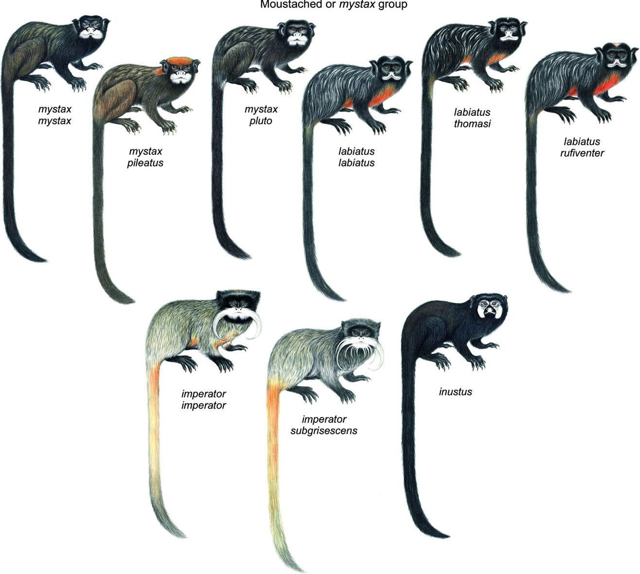 types of tamarins types of tamarin monkeys tamarin types